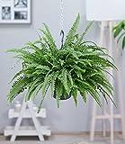 BALDUR-Garten Hängepflanze Schwertfarn, 1 Pflanze Zimmerpflanze luftreinigend Nephrolepis