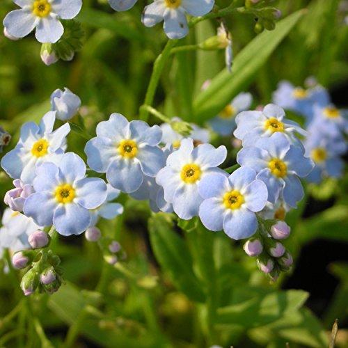 Blumixx Stauden Myosotis palustris - Sumpf-Vergissmeinnicht, im 0,5 Liter Topf, hellblau blühend