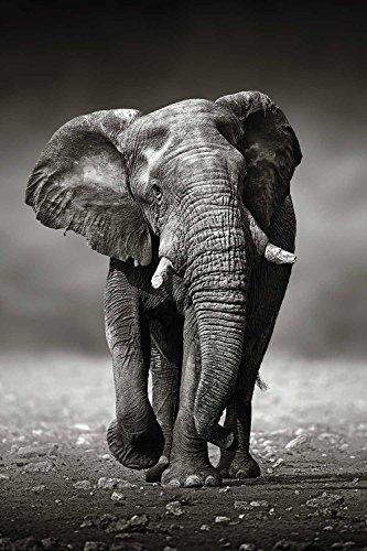 Close Up Póster Elefant - Caminata del Elefante (61cm x 91,5cm) +...