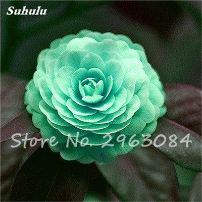 5 pièces rares Graines arc-en-Camellia fleurs, plantes en pot de bricolage, Lumière Parfumée Fleur intérieur, intérieur Bonsai planter des fleurs Semences 9