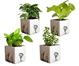 #9: Rolling Nature Combo of Good Luck Air Purifying Live Money Plant Golden Pothos Syngonium Green and Jade in White Square Aroez Ceramic Pot