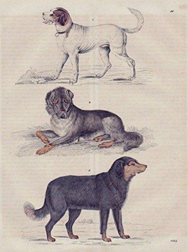 Hund Hund Hunderassen dog dogs Tiere animals Original Lithographie Litho