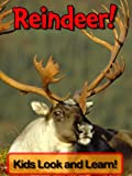 Reindeer! Learn About Reindeer and Enjoy Colorful Pictures - Look and Learn! (50+ Photos of Reindeer)