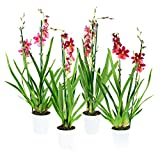BOTANICLY | Orchidee | Cambria Burrageara | 60 cm | Set di 4 piante