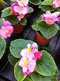 Premier Seeds Direct BEG06F F1 Begonia Semperflorens Heaven Pellets - Rose (Pack of 80)