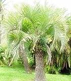 südliche Geleepalme - Butia catarinensis - 20 Samen -