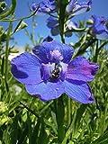 Stauden-Set 'Blütenpracht' blau blühend für Sonne Zwergiger Garten-Rittersporn im 3 Liter Topf 3 Pflanzen