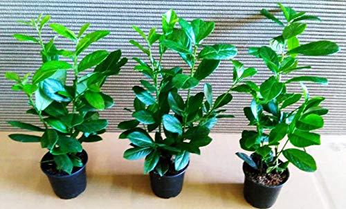 30 Kirschlorbeer - Kirschlorbeer Pflanzen