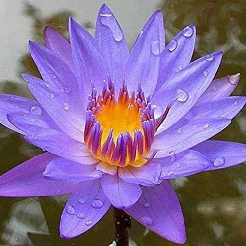 Cioler seme di fiore- fiore di loto,piante idroponiche piante acquatiche semi di fiori vaso da giardino semi di bulbi da fiore ornamentali per il giardino di casa