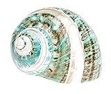 NaDeco Turbo Burgos Banded ca. 7cm | Turbo marmoratus | großes Schneckenhaus für Ihre Maritime Dekoration | Große Muscheln und Schnecken