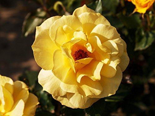 Rose Friesia ® Wurzelware Qualität A - leuchtend goldgelbe Blüten - floranza®