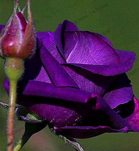 Bloom Green Co.. ! Vã©Ritable 200 pcs/Paquet Usine Rainbow Rose Holland Flower bonsaïs Rose Amant Cadeau Exotiques rares 24 Couleurs au Choix de Bricolage pour la Maison Garde de: 12