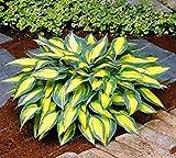 Vista 100 STÜCKE Sementes Blumensamen Hosta Samen Feuer Und Eis Schatten Stauden Wegerich Blume Bonsai Hausgarten Bodendecker Anlage 5