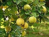 Creative Farmer Sacred Tree Of Indian Heritage - Bael Seeds - 30 Seeds For Growing