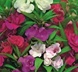 SeeKay Balsam Dwarf Bush Mixed Appx 250 seeds - Annual