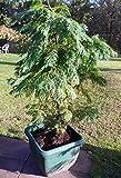 Portal Cool 3-4 Fuß Zypressen für Hecken oder gerade Geck A Dekorative Patio Baum