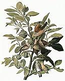 The Poster Corp Audubon: Dove. /Ncommon Ground Dove (Columbina Passerina). Engraving After John James Audubon for His 'Birds of America ' 1827-38. Kunstdruck (45,72 x 60,96 cm)