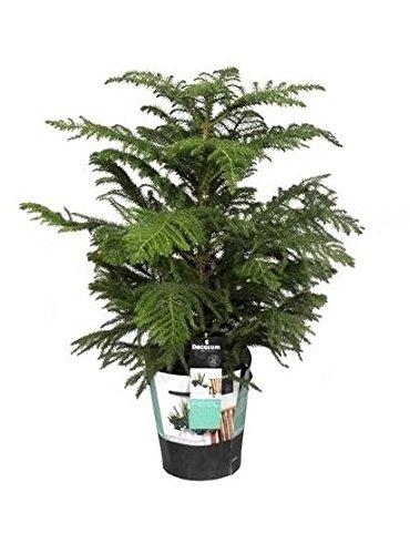 FloraStore - Araucaria Heterophylla (gekammert) 80 cm (1x), Topf 21 CM, Zimmerpflanze