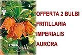 OFFERTA 2 BULBI AUTUNNALI FRITILLARIA IMPERIALIS AURORA BULBS BULBES