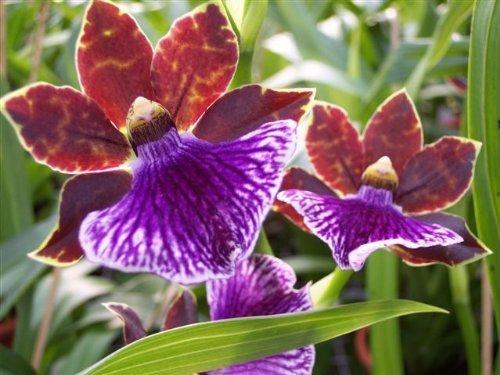 1 blühfähige Orchidee der Sorte: Zygopetalum, 13cm Topf, starker Duft
