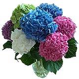 Ncient 20 Semillas de Hortensia Colores Flores Aromaticas, Bonsai Hortensia Jardín Perenne de Plantas Bonsai para Maceta Jardín Balcon Interior y Exteriores