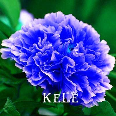 Bloom Green Co. ! Grande promotion des plantes pivoine chinois Noir Violet Pivoine Fleur Bonsai jardin Plante en pot 10 piÚces/lot, 44VUVK: 20