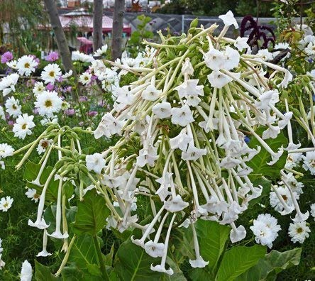Nicotiana Sylvestris Only The Lonely Environ 3000 Graines