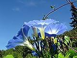 Asklepios-seeds - 1000 Semillas Ipomoea violacea tricolor campanita