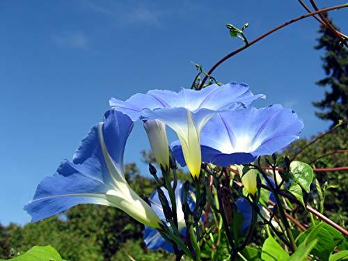 Asklepios-seeds - 1000 Samen Ipomoea tricolor (violacea) Himmelblaue Prunkwinde -
