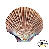 Flat Scallop Shells (10 x Extra Large 10-13cm sized Flats Scallops Shell)