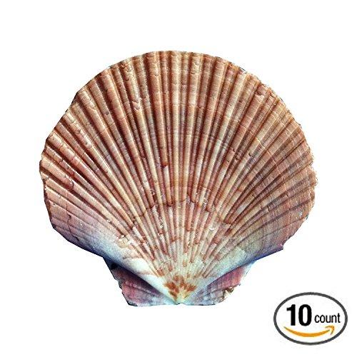flat-scallop-shells-10-x-extra-large-10-13cm-sized-flats-scallops-shell