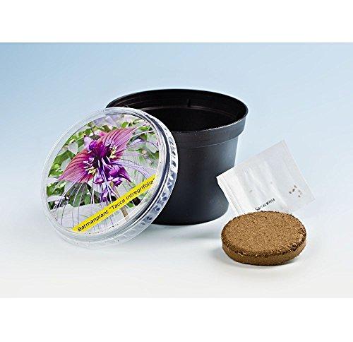 GKA Fledermauspflanze als Pflanzset Anzuchtset Samen Erde und Topf mit Anleitung Fledermaus Blume Anzucht Anzuchtstopf