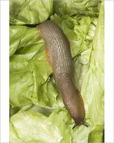Photographic Print of Common Large Garden Slug - On lettuce
