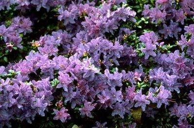 2-litre-pot-dwarf-rhododendron-st-merryn-deep-blue-flowers-garden-shrub-plant