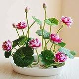 Adolenb Seeds House- 20pcs rareté fleur de lotus, lotus coloré plantes hydroponiques plantes aquatiques pot de jardin semences de bulbes à fleurs ornementales pour le jardin