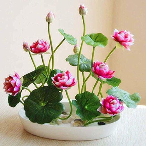 swiftt 10 Samen Mini Wasserlotus Bunte Lotus Samen Hydroponischen Wasser Blume Pflanze Indoor Bonsai Lotus Saatgut mehrjaehrig mehrfarbrig (Rot) -