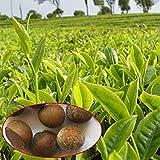 Vistaric Imixlot 5 Teile/los Chinesischer Grüner Tee Baum Samen Bonsai Pflanze DIY Tee für Gesundes Bonsai Teebaum Hausgarten Kostenloser Versand