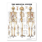 "The Skeletal System Giant Chart Laminated: 42"" x 62"" chart"