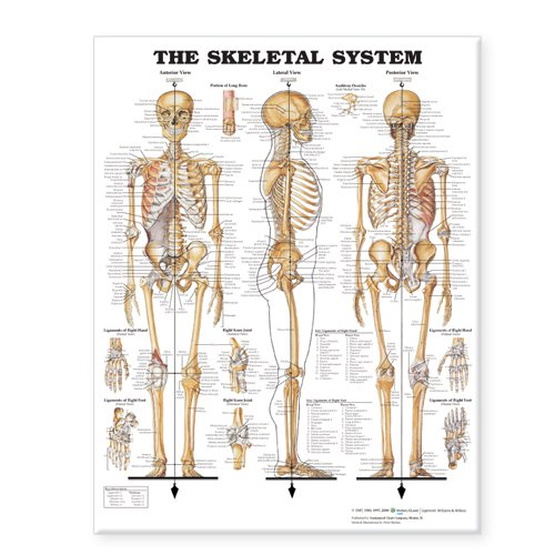 The skeletal system giant chart