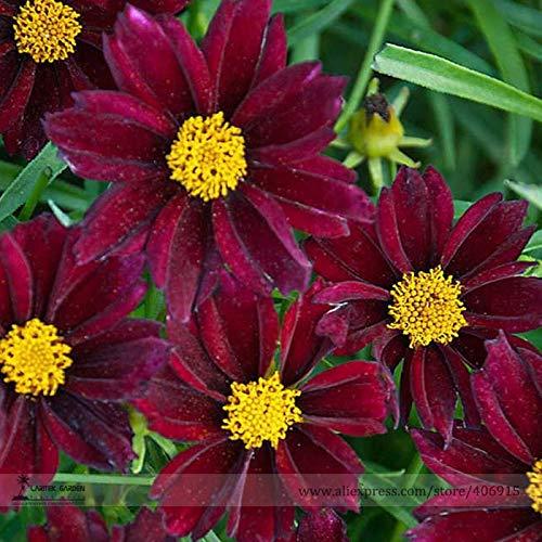 Go Garden Bellfarm Bonsai Le Rarest Mercury coréopsis rouge foncé Cosmos Fleur Plante vivace Cosmos Haute Germination de/pack