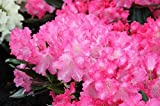 Rhododendron yakushimanum Marlis (Rhododendron...