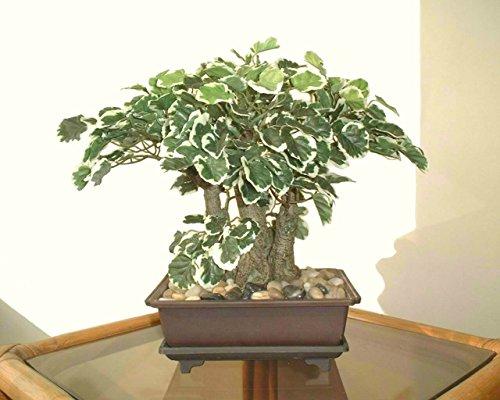 polyscia-bonsai-30cm-albero-artificiale-senza-vaso