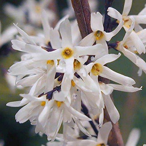 white-forsythia-roseum-abeliophyllum-distichum-flowering-tree-shrub-in-a-9cm-pot