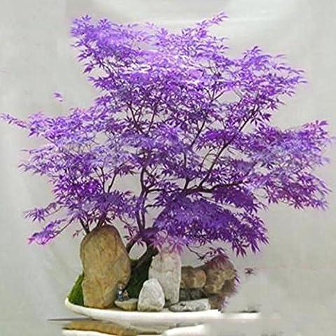 20Pcs Blu giapponese Acero Bonsai Seeds balcone piante per Articoli per la casa decorazione del giardino delle piante Air Purfication