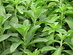 Seedlings india Stevia Rebaudiana Live plant