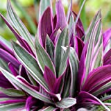 #10: Plant House Live Rhoeo Spathacea Tricolor - Rhoeo Variegated Plant with Pot