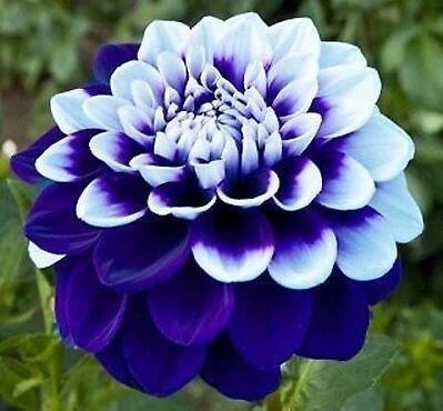Couleurs mélangées rares Dahlia Graines Graines Fleurs vivaces Belles Dahlia pour le bricolage jardin 100 PCS / Sac 10