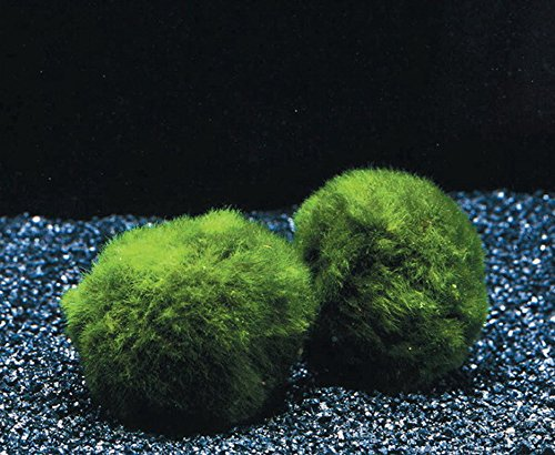 3 Mooskugeln Größe M 3-4 cm / Cladophora aegagropila - Marimo Ball