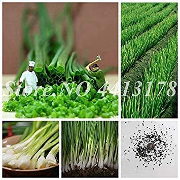 . 1000 pc/sacchetto root solo scalogno four seasons evergreen biologica delicious scallion bonsai idroponica seedsplant per flower pot: 200pcsshallot