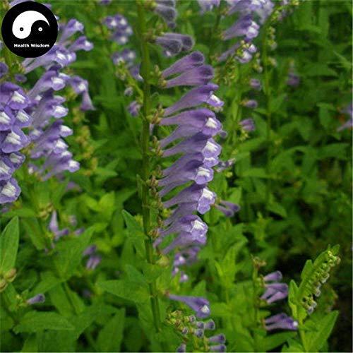 PLAT FIRM KEIM SEEDS: 100pcs: Kaufen Skullcap Kräutersamen Pflanze Scutellariae BARBATAE Für Ban Zhi Lian